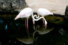 Flamants dans l'étang au zoo images libres de droits