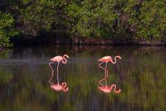 Flamants dans l'eau au Cuba Photographie stock libre de droits