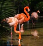 Flamants dans l'habitat naturel images stock