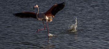 Flamants dans le Camargue, Frances Photos libres de droits