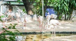 Flamants dans le zoo Photographie stock