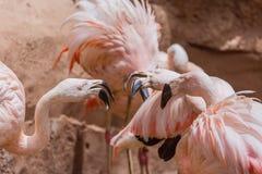 Flamants dans le zoo photo stock