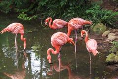 Flamants dans le zoo de Sao Paulo, Brésil Photographie stock