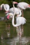 Flamants dans un étang Image libre de droits