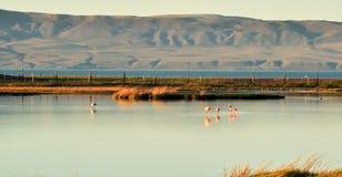 Flamants dans un étang avec la réflexion dans l'eau Photo stock