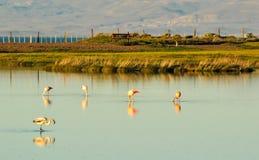 Flamants dans un étang avec la réflexion dans l'eau Photo libre de droits