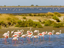 flamants de camargue Images stock