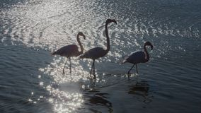 Flamants en parc ornithologique du pont de Gau près de l'étang de Gines avec Saintes Maries de la mer dans Camargue dans Bou photo libre de droits