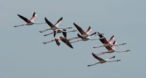 Flamants en troupeau du vol Photographie stock libre de droits