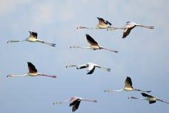 Flamants en vol image libre de droits