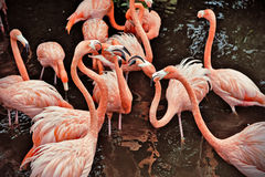 Flamants roses Image libre de droits