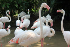 Flamants roses Images stock