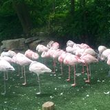 Flamants roses Photo libre de droits