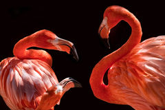 Flamants roses Photographie stock libre de droits