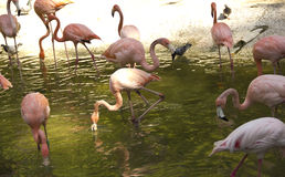 Flamants roses Photographie stock libre de droits