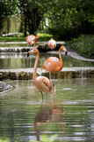 Flamants roses Photos libres de droits