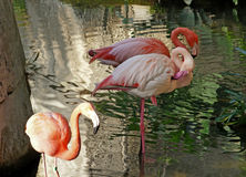 Flamants roses Images libres de droits