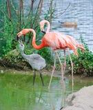 Flamants roses au zoo Images libres de droits