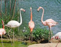 Flamants roses au zoo Photographie stock