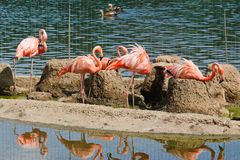 Flamants roses au zoo Image stock