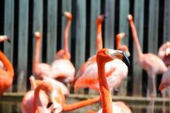 Flamants roses au zoo Image libre de droits