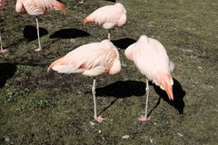 Flamants roses au zoo Photos stock