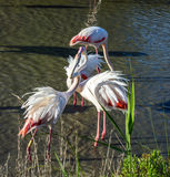 Flamants roses d'amour Photo libre de droits
