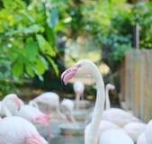 Flamants roses dans l'habitat naturel Photographie stock libre de droits