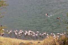 Flamants roses dans le lac Photographie stock