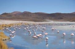 Flamants roses en nature sauvage de la Bolivie Images libres de droits