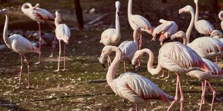 Flamants roses en troupeau de zoo photographie stock libre de droits