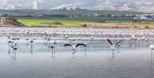 Flamants roses et gris au lac de sel de Larnaca, Chypre photo stock