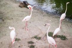6 flamants roses sur le sable par le lac photos libres de droits