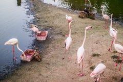 Flamants roses sur un cap arénacé près du lac image libre de droits