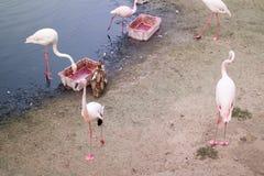 Flamants roses sur un cap arénacé près du lac photographie stock libre de droits