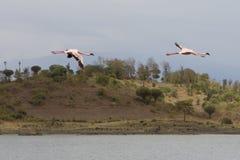 Flamants roses volants dans le lac Photo stock