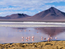Flamants sur l'altiplano Photos stock