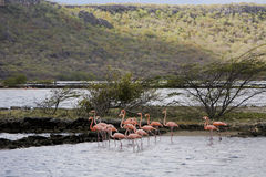 Flamants sur le Curaçao Photographie stock