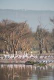Flamants sur le lac Images stock
