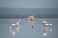 Flamants sur le lac Photo libre de droits