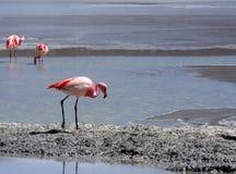 Flamants sur le lac, Bolivie photos libres de droits