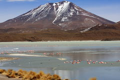 Flamants sur le lac, Bolivie image stock