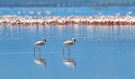 Flamants sur le lac Le Kenya, Afrique Photographie stock