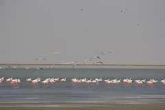 Flamants sur peu de plage de Rann Images stock