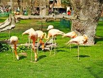 Flamants sur un parc zoologique image libre de droits