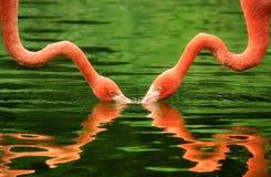 Flamants symétriquement réfléchis sur l'eau Photo libre de droits