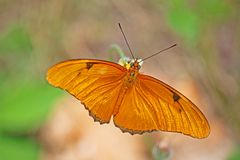 Flambeau Butterfly dryas iulia in Cuba. A Flambeau butterfly, also known as dryas iulia, is found on a flower in Cuba. This butterfly is found from the Southern Stock Images