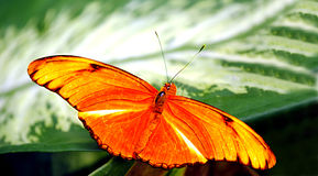 Flambeau butterfly. Latin name Dryas iulia Stock Photography