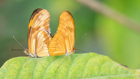 Flambeau butterfly. Pair, Dryas Iulia Royalty Free Stock Image