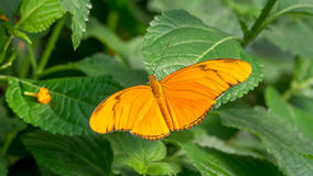 Flambeau butterfly. Pair, Dryas Iulia Stock Photography